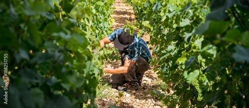 Foto Murales viticulteur dans ses vignes