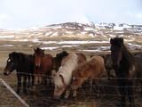 Islandpferde - 188254957