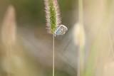 Farfalla a riposo su una spiga. - 188261140