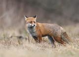 Fox (Vulpes vulpes) - 188267520