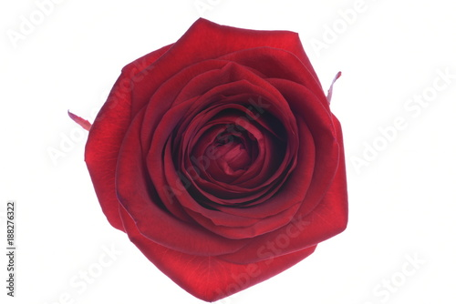 Flower rose head directly above isolated on white background