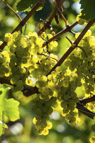 grapes in the vineyard - 188297565