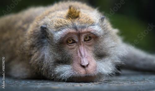 In de dag Bali Resting Macaque Monkey
