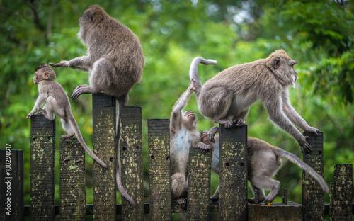 Fototapeta Macaque Monkeys