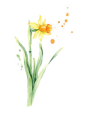 Daffodil spring flower, Narcissus watercolor illustration