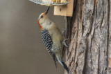 Red-bellied Woodpecker on suet feeder.
