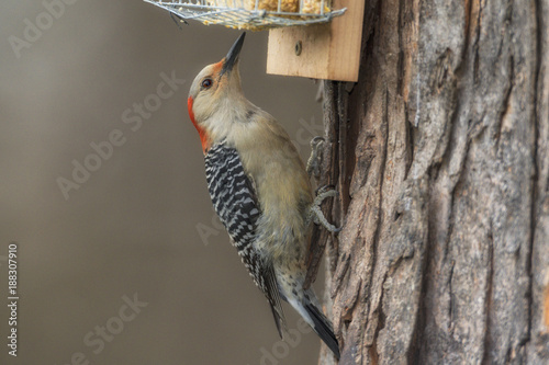 Foto Murales Red-bellied Woodpecker on suet feeder.