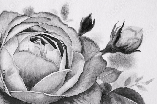 Black and white roses flower. Watercolor paintings - 188315986