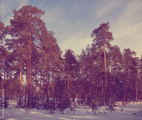 Foto op Canvas Crimson Winter lanscape with pine forest