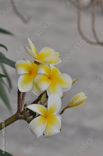 Foto Murales Colorful flowers.Group of flower.group of yellow white and pink flowers (Frangipani, Plumeria)  Pink,White and yellow frangipani flowers with leaves in background. Plumeria flower blooming .