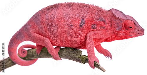 czerwony kameleon, białe tło
