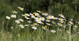 white marguerite daisy flower field or meadow in spring time, tranquil countryside natural scene - 188332105