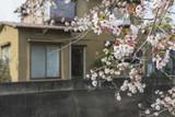 sakura flower blossom in Japan - 188346377
