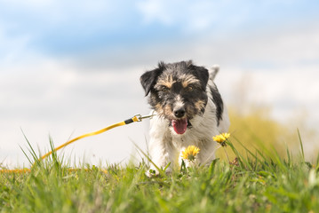 Cute Jack Russell Terrier dog are standing in a meadow with dandelions in spring in front of blue background. Hair style rough, 1 year old