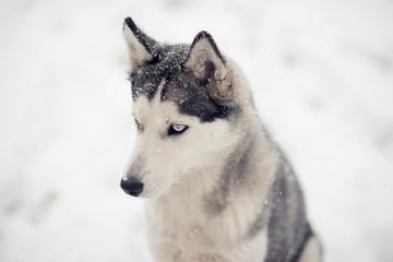 Siberian husky dog under snow peeping prey