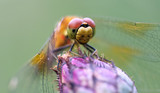 Dragonfly on a flower.