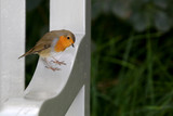European Robin bird