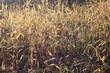 dry grass in winter