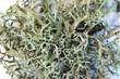 branched lichen on white background