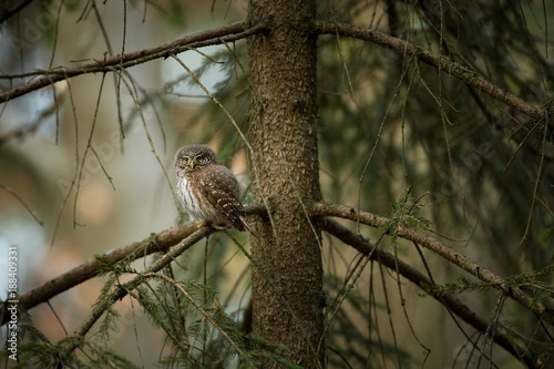 Foto Murales Glaucidium passerinum. It is the smallest owl in Europe. It occurs mainly in northern Europe. But also in Central and Southern Europe. In some mountain areas. Photographed in the Czech Republic. Wild