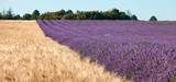 Field of lavender and wheat field, selective focus