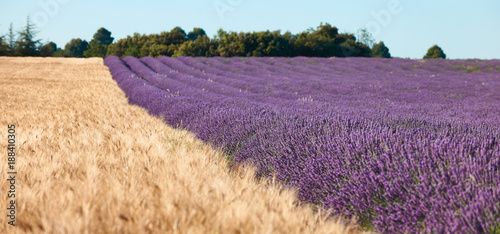 Field of lavender and wheat field, selective focus - 188410305