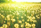 Meadow of dandelion flower over the background of summer landscape
