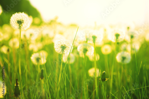 Dandelion on the meadow at sunlight on the sunset. Nature background - 188410765