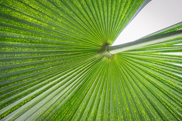 Close up of fanned palm leaf