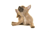 Chihuahua puppy dog cratching itself isolated on a white background