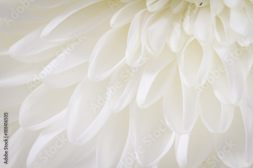 Foto Murales Soft closeup of white Chrysant flower petals with warm tint