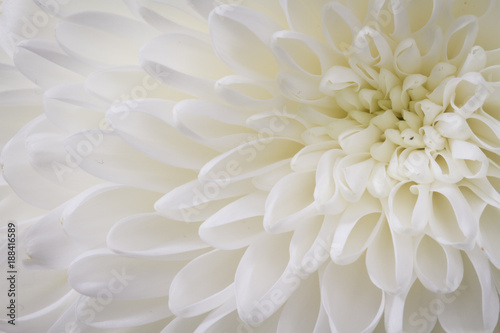 Foto Murales closeup of white Chrysant flower with top right center