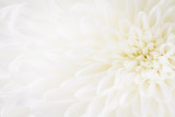 over exposed light closeup of white Chrysant flower with center on the right - 188416785