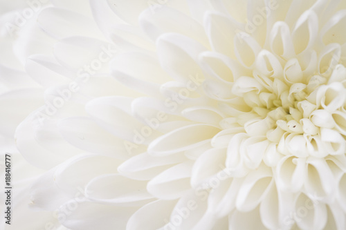 light closeup of white Chrysant flower with center on the right