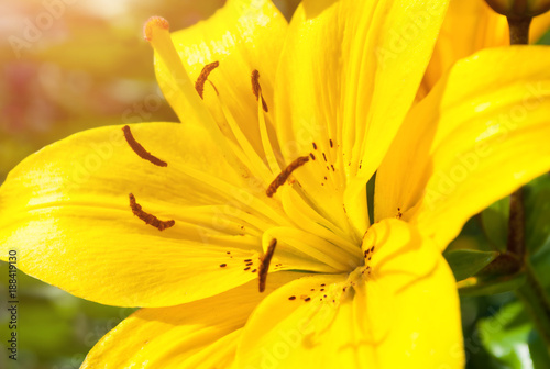Papiers peints Jaune Spring flower background. Lily flower of yellow color blooming in the garden