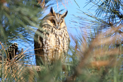 A long-eared owl hides in the branches of a pine tree on daytime rest