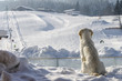 dog enjoys looking at the ski slope in winter