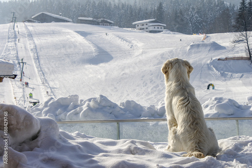 dog enjoys looking at the ski slope in winter - 188429768