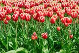 Flowerbed of Tulips - 188430525
