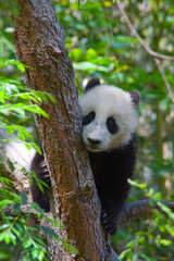 Panda cub climbs a tree in a forest.