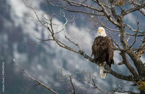 Aluminium Eagle Bald eagle in Canada
