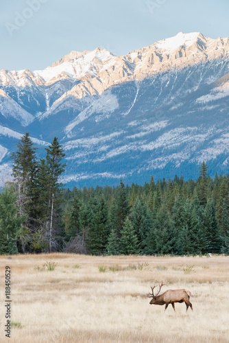 Fotobehang Blauwe jeans Bull elk in the fall