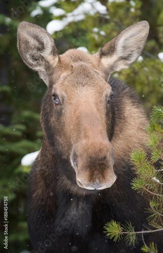 Foto Murales Moose in Jasper, Alberta