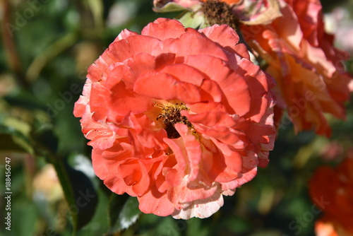 flower, red, poppy, nature, garden, plant, flowers, green, flora, summer, rose, spring, poppies, blossom, bloom, field, bud, floral, petal, beauty, meadow, petals, grass, leaf, macro - 188456747