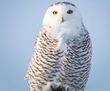 Snowy Owl - 188457546
