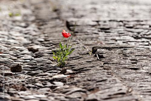 Poppy flower growing on old cobble stone street - 188460740