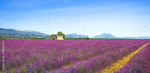 Foto op Plexiglas Lavendel Lavender flowers blooming field, old house and tree. Provence, France