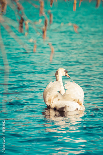 swan swimming in the lake with blue backgrounds