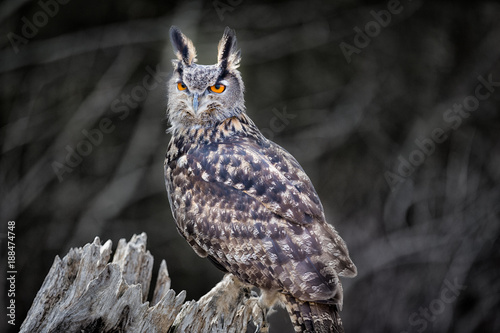 Euro Asian Eagle Owl