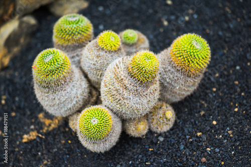 A huge variety of cacti in the cactus garden. Lanzarote. Canary Islands. Spain